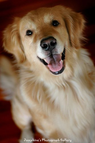 Say Hi Female Golden Retriever Happy Dogs Beautiful Dogs