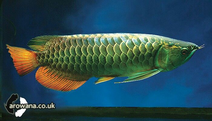 Red Splendour Crossback Arowana Dragon Fish Aquarium Fish Freshwater Aquarium Fish