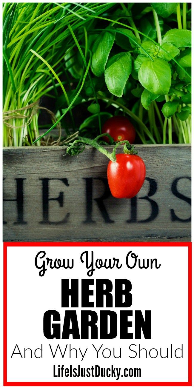 You NEED your own Herb Garden. Even if you are a beginner you can grow herbs for cooking and medicine and even for your chickens. You can DIY and grow herbs for better health and nutrition and save money at the same time!
