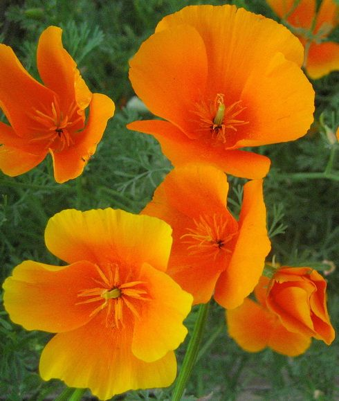 Field mouse google search flowers pinterest garden ideas california poppy wildflower seeds are some of the most popular seeds to plant nothing compares to their glory and poppy seed is easy to start mightylinksfo Image collections