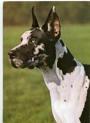 Deutsche dogge ebay