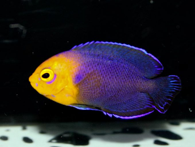Without Context The Image Above Shows A Trio Of The Ubiquitous Caribbean Pygmy Angelfish Centropyge A Saltwater Aquarium Fish Marine Fish Saltwater Fish Tanks