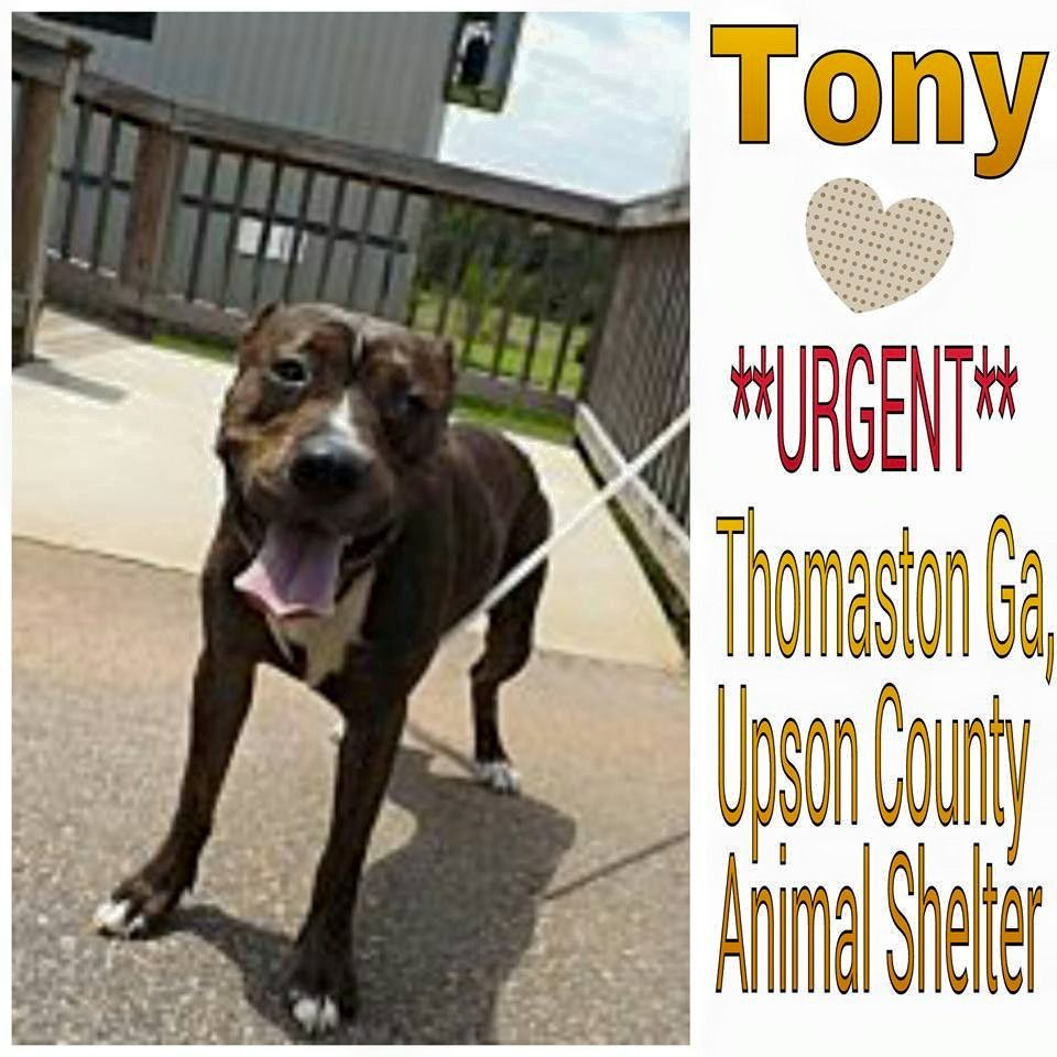 Thomaston GA - Needs Their Community - Please consider adopting one and fostering for a while to help save more lives. Thomaston Ga - Meet Tony, he was picked up as a stray and is in need of a adopter or immediate rescue. http://www.adoptapet.com/pet/13624719-thomaston-georgia-american-pit-bull-terrier-mix You do not have to live in Ga to save. Transports can often be arranged! If you cannot rescue, consider fostering. If you cannot foster, consider sponsoring. If you cannot sponsor, consid