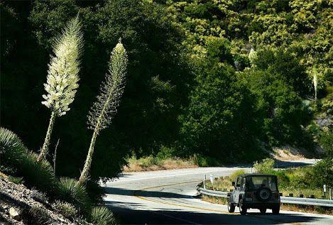 A Yucca gigantea (Yucca elephantipes. Yucca guatemalensis) é uma planta da família Agavaceae, natural de El Salvador e Guatemala. É cultivada como planta de jardim, e as pétalas e brotos tenros são comidos como um verdura. Sua flor, Izote, é a flor nacional de El Salvador.  http://sergiozeiger.tumblr.com/post/85043341103/a-yucca-gigantea-yucca-elephantipes-yucca