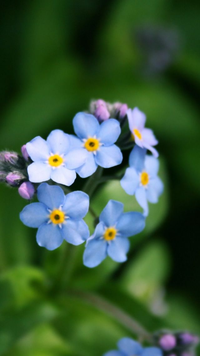 Forget Me Not Flower Iphone 5 Wallpaper Flower Iphone Wallpaper Forget Me Not Iphone 5s Wallpaper