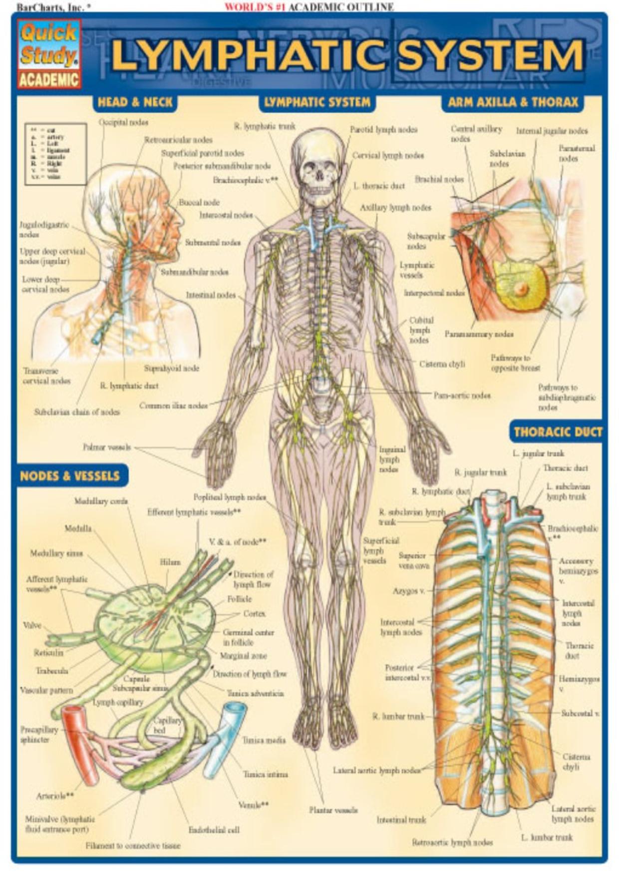 Lymphatic System Lymphatic system, Lymph drainage, Lymph