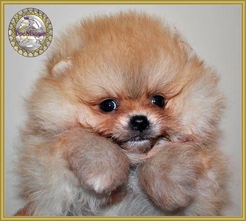 Pomeranians Dochlaggie Pomeranian Puppy Pomeranians Pomeranian