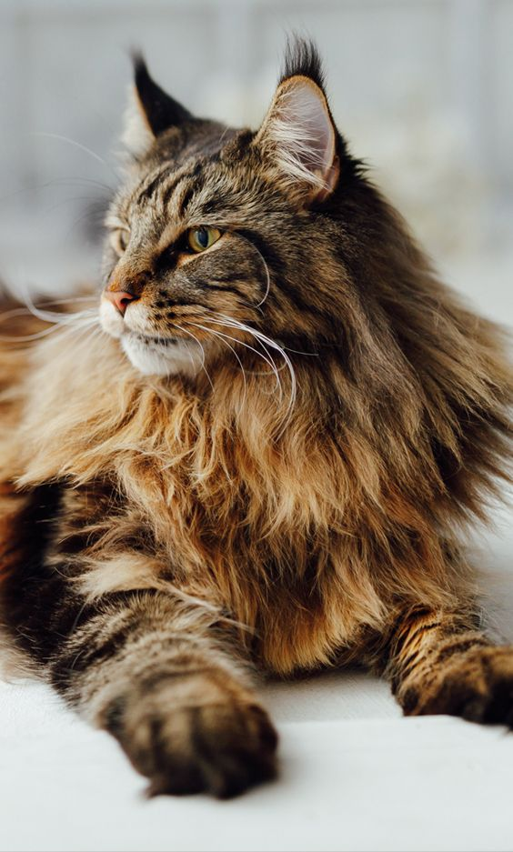 The largest domestic cat breed not related to ancestral wild cats, the Maine Coon is a friendly and loving cat. Its females can weigh 10 to 15 lbs. and males, 15 to 25 lbs. . . . . . . . #mainecoon #cat #savannah #chausie #ragdoll #ragamuffin #forestcat #catlover #pet