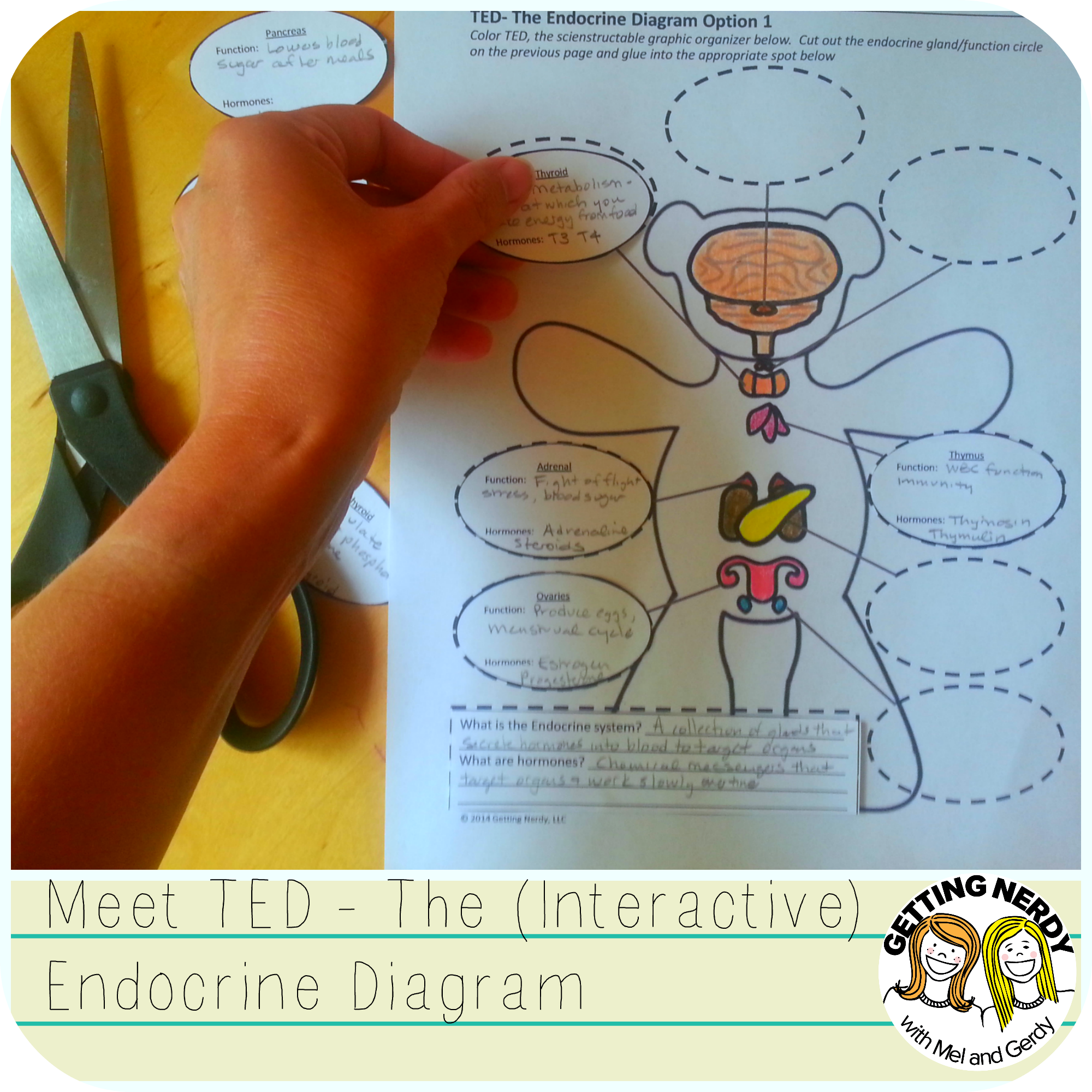 Ted is an interactive endocrine system graphic organizer  teddy bear filled with information glands and hormones gettingnerdy inb also tpt science lessons pinterest rh