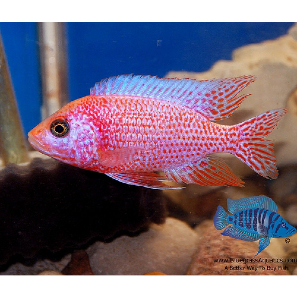 Aulonocara Sp Strawberry Albino Regular African Cichlids Cichlids Tropical Fish