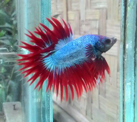 Photos From Generasi Pelangi S Post Generasi Pelangi Betta Fish Betta Fish Pet