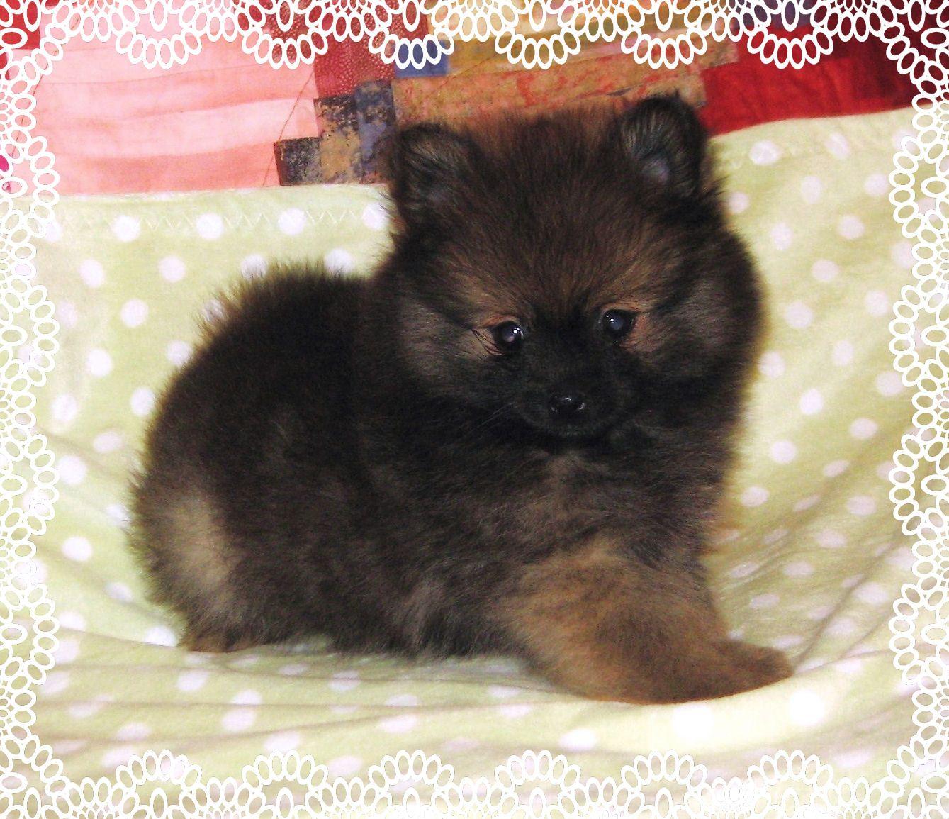 Toy Pomeranian puppy Pomeranian puppy, Pomeranian puppy