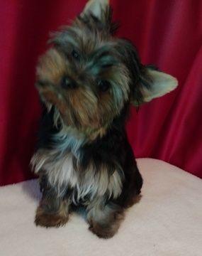 Litter Of 3 Yorkshire Terrier Puppies For Sale In Ellijay Ga Adn