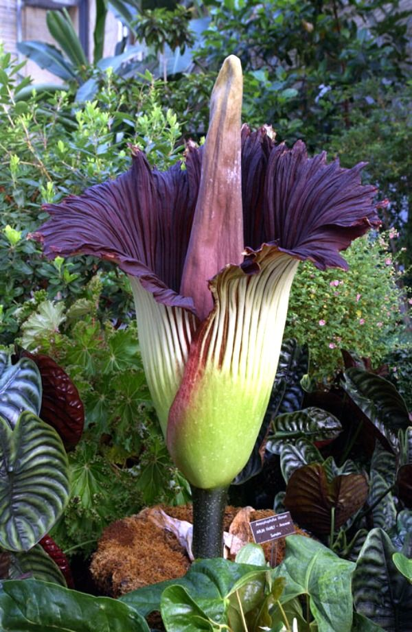 Dracunculus Vulgaris Is Known As The Dragon Arum The Black Arum The Voodoo Lily The Snake Lily The Stink Lily The B Strange Flowers Unusual Flowers Plants