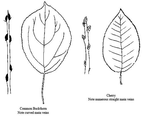 Diagram showing differences between buckthorn and cherry leaves and diagram showing differences between buckthorn and cherry leaves and buds ccuart Images