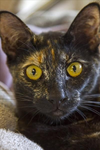 Aurora is a beautiful cat at our Noosa RSPCA shelter