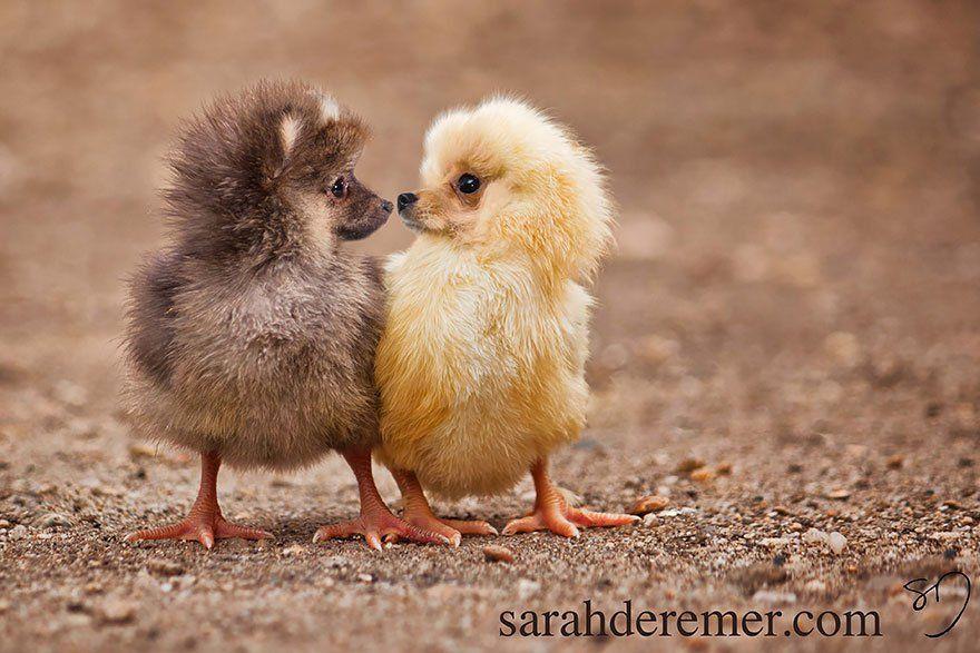 Extraños Animales Híbridos Criados Con Photoshop Cultura Inquieta Pollitas Aves De Compañía Animales