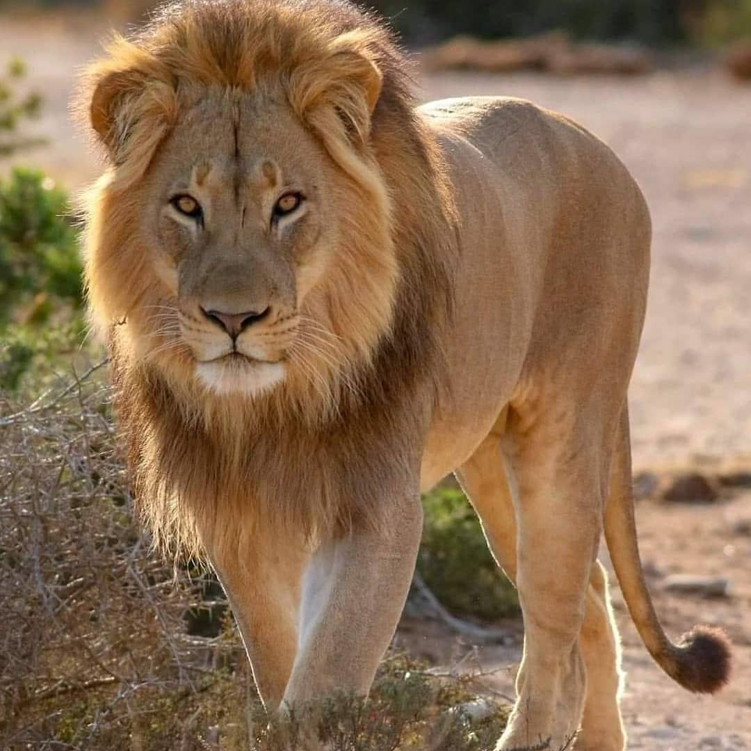 Animal Pictures Videos Animalland10 Added A Photo To Their Instagram Account What A Beautiful Golden Lion Wildlife Tattoo Animals Wildlife Protection