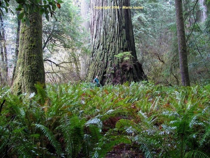 del norte titan redwood in the grove of titans 6 hours
