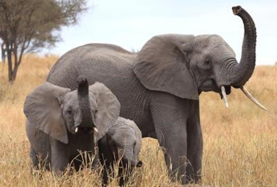 Рисунок смешного слона дауна