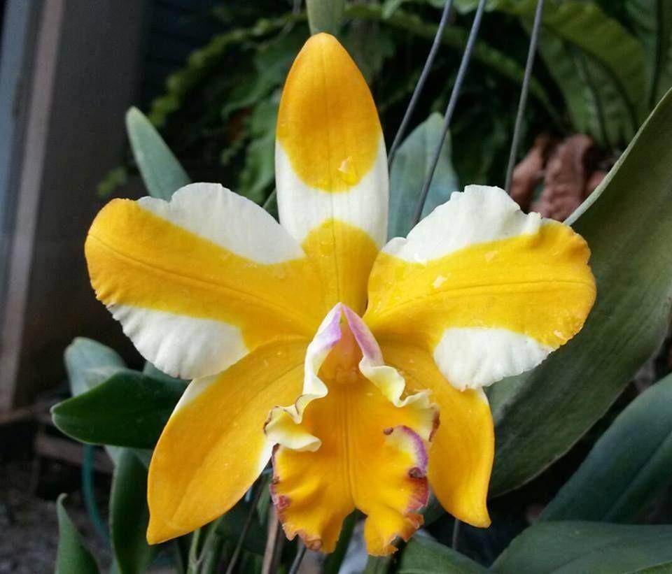 Cattleya 39 yellow gold 39 orchid flowers 1 pinterest for Orchidea cattleya