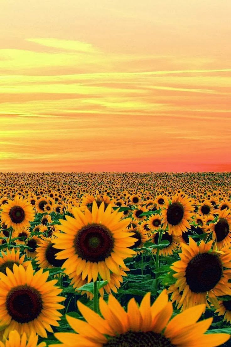 Sunset in Sun Flower Field, Maryland So Pretty! Love Sunflowers