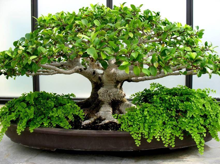 bonsai ikebana kokedama wabi kusa kusamono bonsai bonsai baum garten. Black Bedroom Furniture Sets. Home Design Ideas