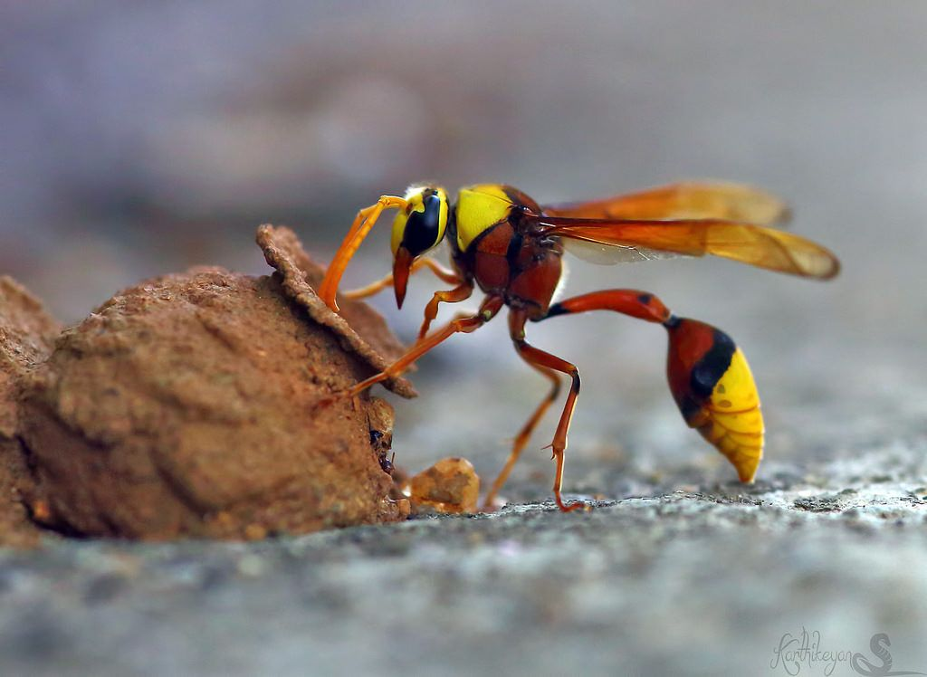 Potter Wasp With Images Types Of Bees Wasp Bee