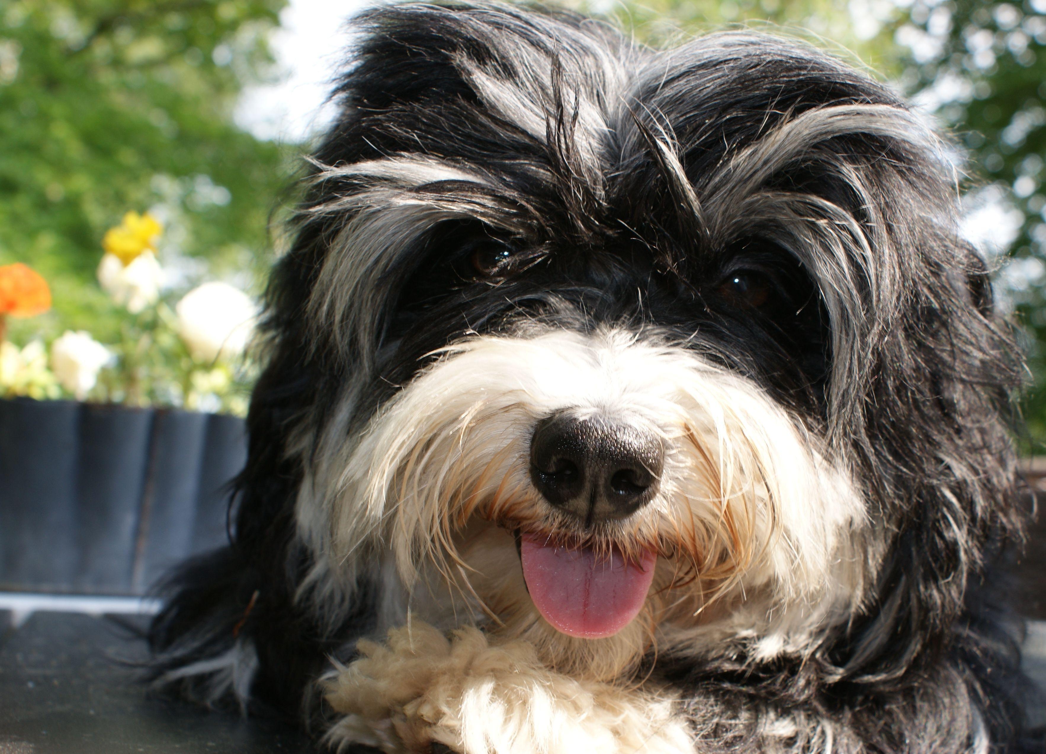 Bichon Havanais Havanese Mossman * Havanese dogs