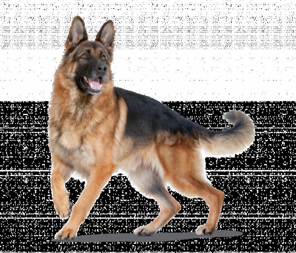 Shepherd Purebred German Breed Dog Food Puppy Dog Breeds German Shepherd Pictures Shiloh Shepherd Dog