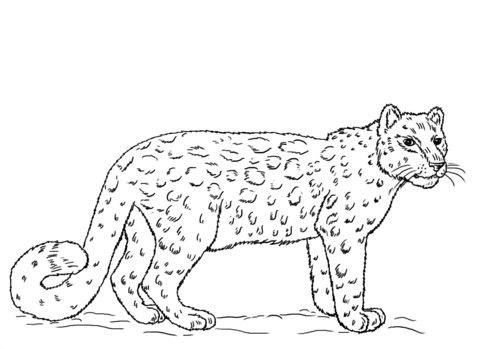 Snow Leopard Coloring Page Free Printable Coloring Pages Snow Leopard Pictures Leopard Pictures Snow Leopard Drawing