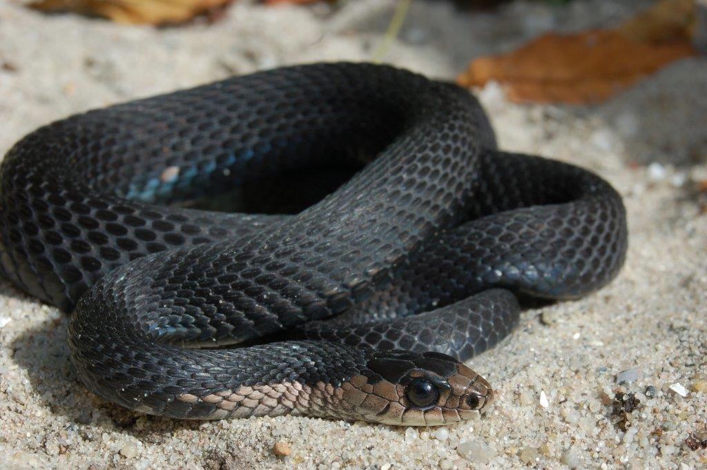Welcome At Steven Bol Gartersnakes Steven Bol Garter Snakes Melanistic Amphibians Species