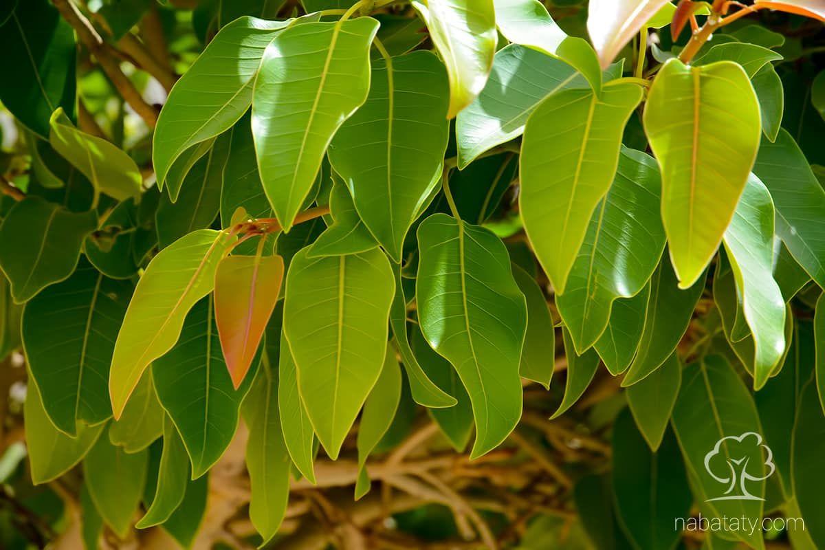 فيكس امريكي او الفيكس التسيما شجرة تتحمل الحرارة والجفاف وتستخدم بشكل واسع بغرض توفير الظل تعرف على كيفيك العناية بها عبر موقع نبات Plants Plant Leaves Leaves