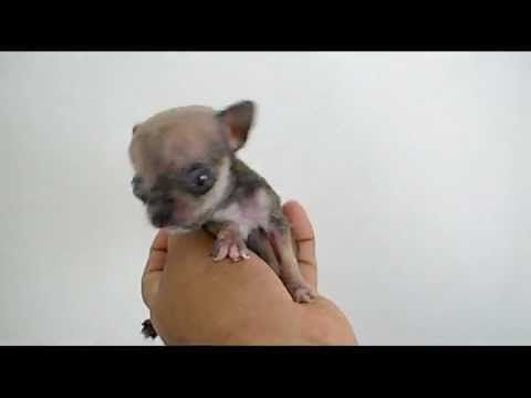 Micro Tiny Teacup Chihuahua