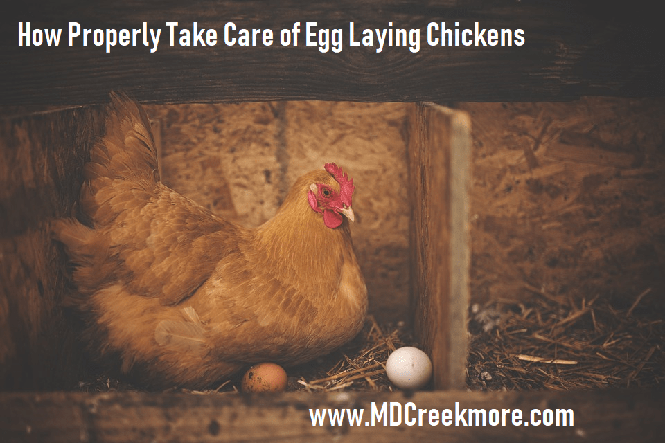 How to Properly Take Care of Egg Laying Chickens ...