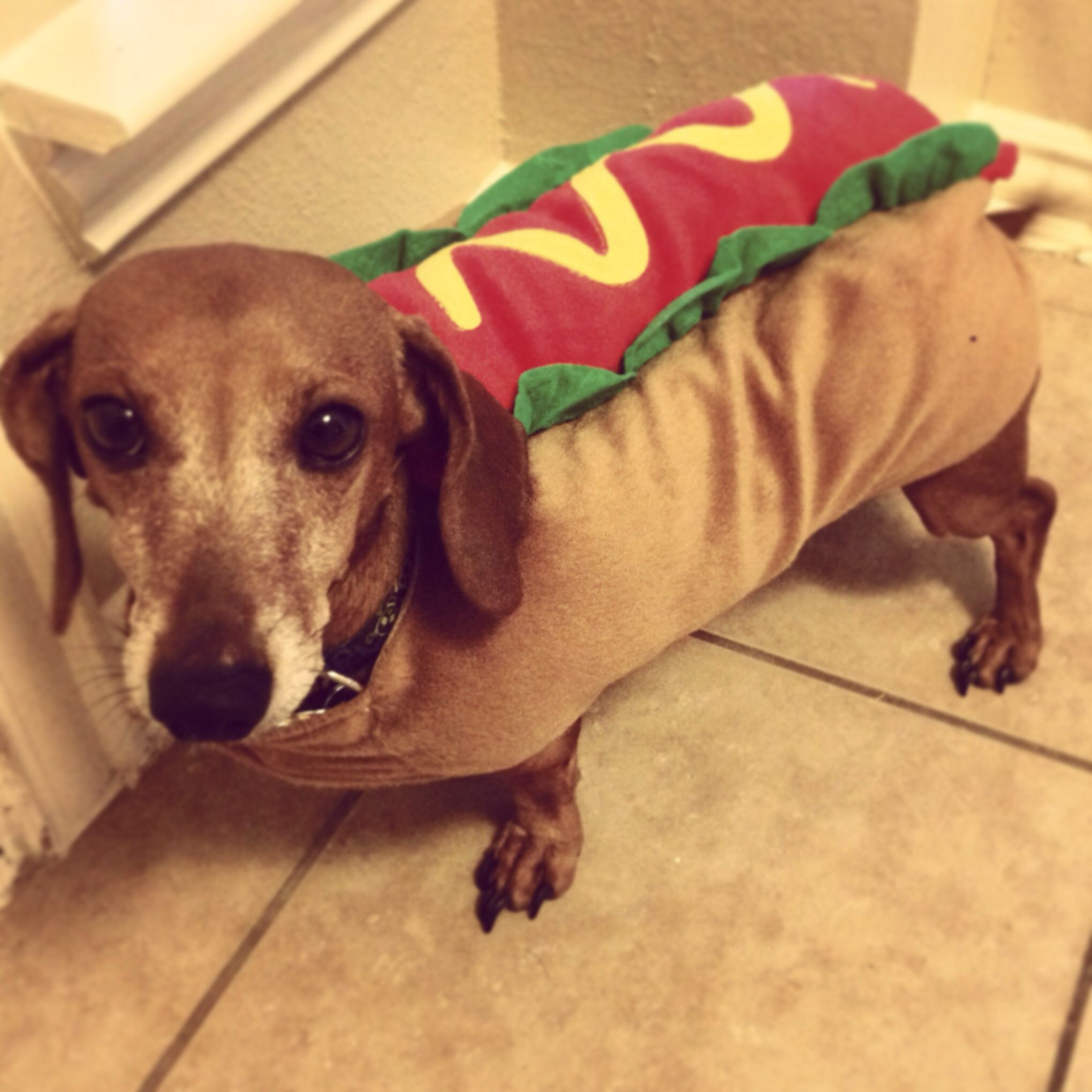 We Got Our Weenie Dog His Halloween Costume Today Oh Yes This