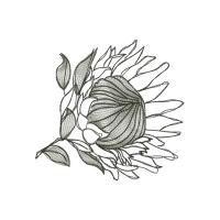 Protea Sketches