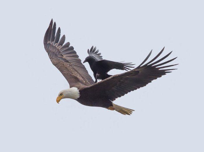 Un corbeau atterrit sur le dos d'un aigle... en plein vol : 5 images  fascinantes et jamais vues !   Bald eagle, Crow, Bald eagle photo