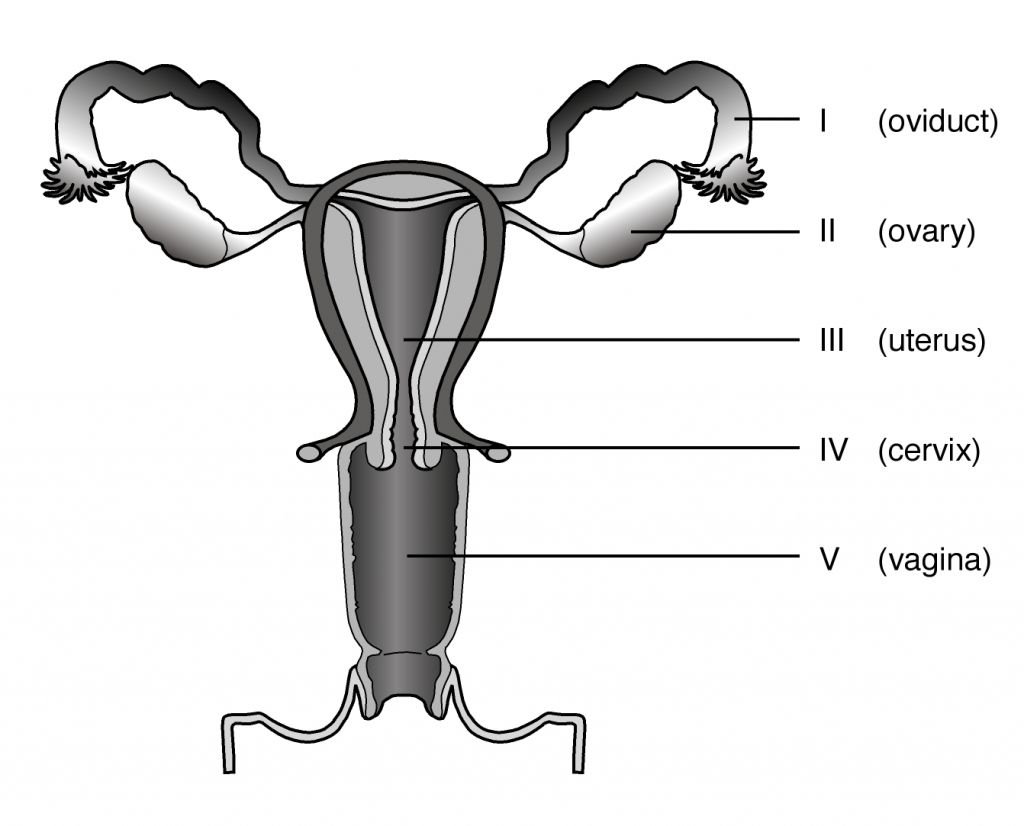 Unlabelled Female Reproductive System Female Reproductive