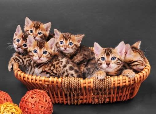 Bengal Kittens In Wicker Basket Studio Shot On Gray Background Getty Images Bengal Cat Cost Best Cat Breeds Bengal Kitten