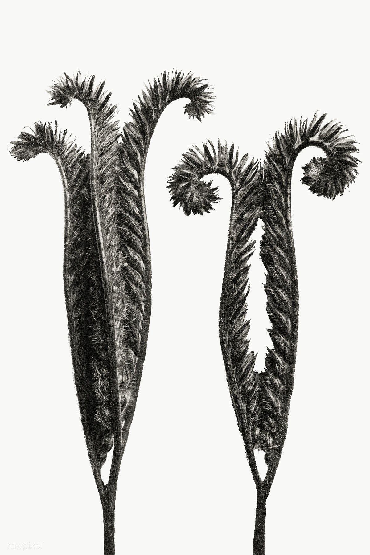 Download premium png of Phacelia Tanacetifolia (Lacy