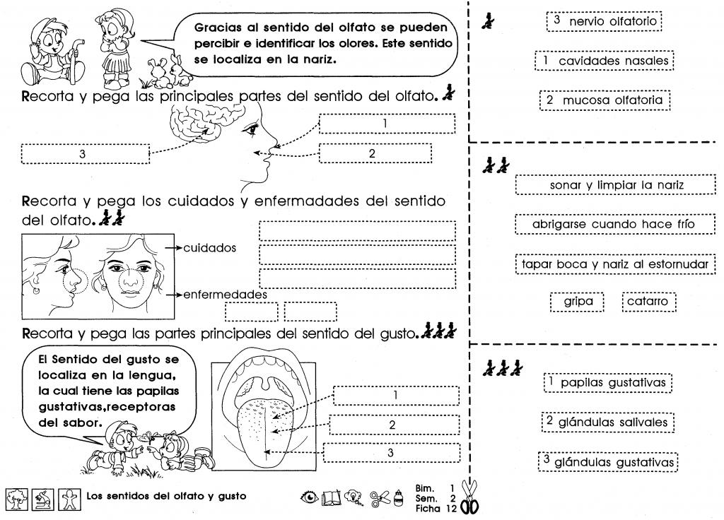 Ficha imprimible de repaso para 4to grado de educación primaria. Tema: los sentidos del olfato y gusto