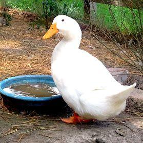 Fresh Eggs Daily Fresh Eggs Daily Duck Chicken Runs