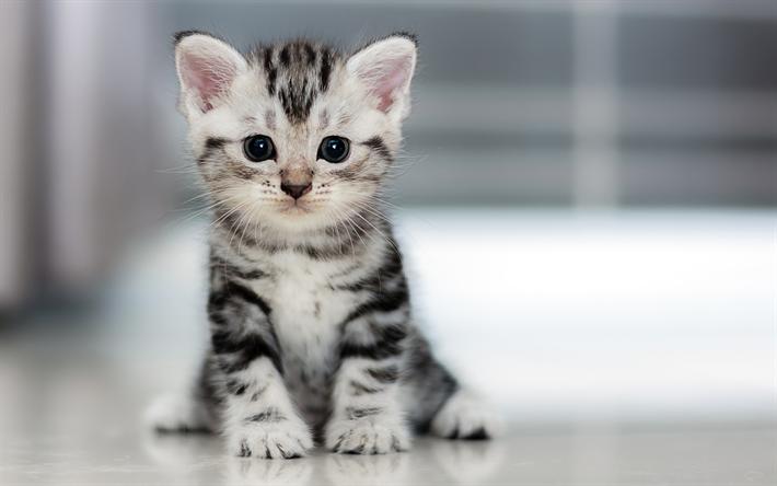 Resultat De Recherche D Images Pour American Curl Graue Katzen Katzenrassen Kleine Katzen