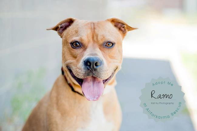 Ramo is a 1 year old Boxer Pit mix. he is still very goofy