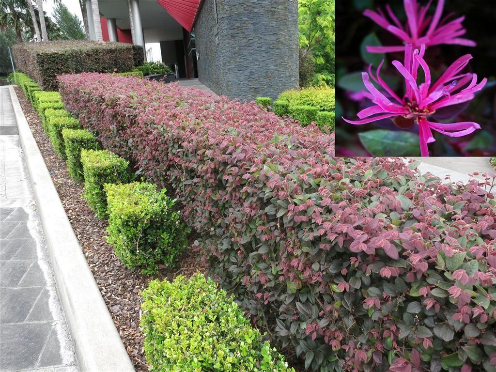 Crimson Fire Chinese Loropetalum Landscaping Plants T
