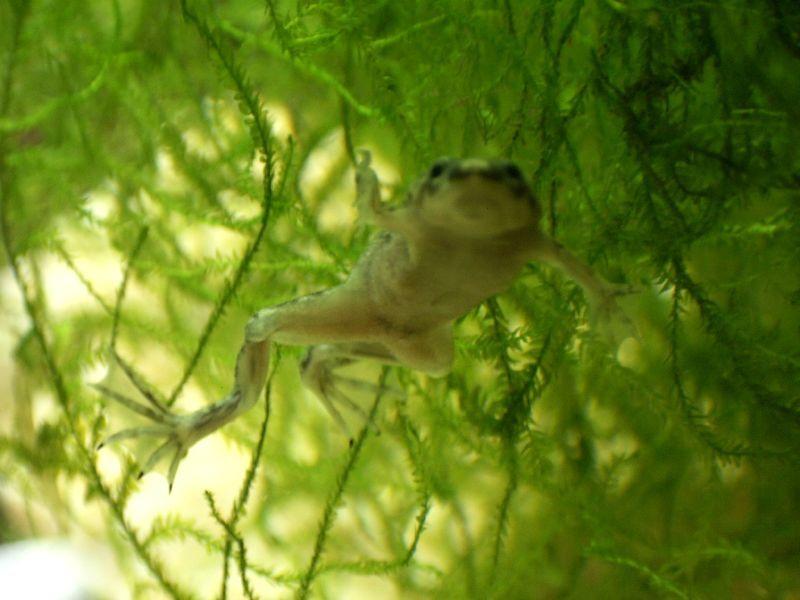 African dwarf frogs betta tank mate fish pinterest for Fish tank frogs