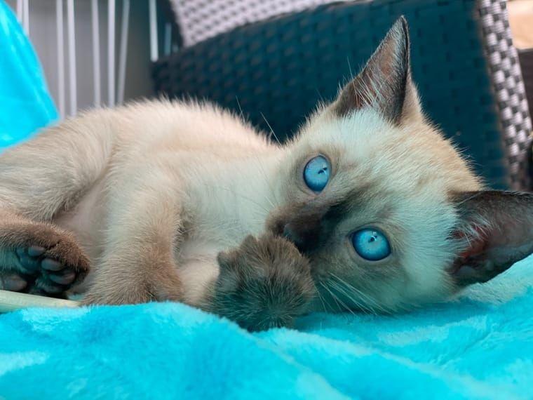 Deinetierwelt Prasentiert Foto Nr 1 In 2020 Siam Katzchen Thai Katze Ausgestopftes Tier
