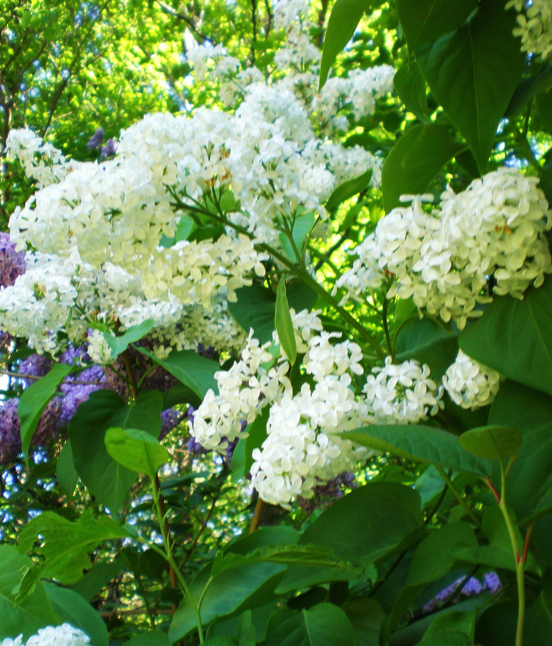 Common white lilac syringa vulgaris var alba garden - Syringa vulgaris ...