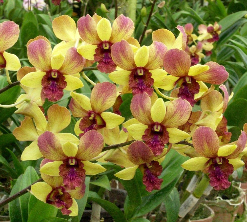 Pin On Dendrobium